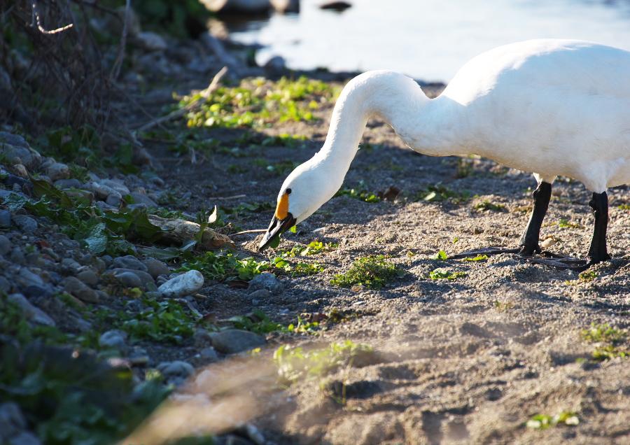 深谷市(旧川本町)白鳥飛来地2011年12月(3): カメラで楽し
